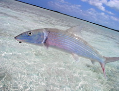 Flyfishing for Bonefish on the flyfishing flats of Providenciales in the Turks and Caicos Islands